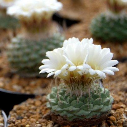 (ดอกขาว) เมล็ด Strombocactus disciformis