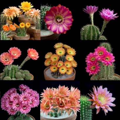 Echinopsis+pseudolobivia seed mix (selection)