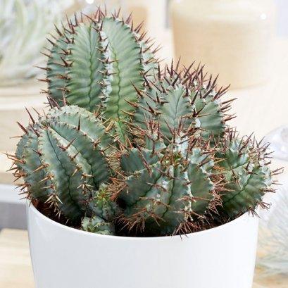 Euphorbia horrida (เพาะแบบเปิด)