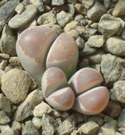 เมล็ด Lithops olivacea v. neobrownii