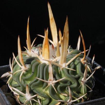 เมล็ด Echinofossulocactus tricuspitatus