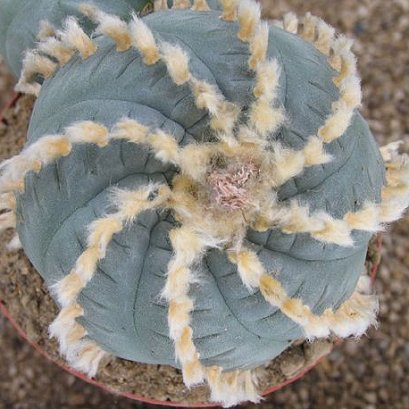 Lophophora williamsii v. Huizache