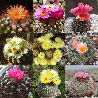 Notocactus seed mix