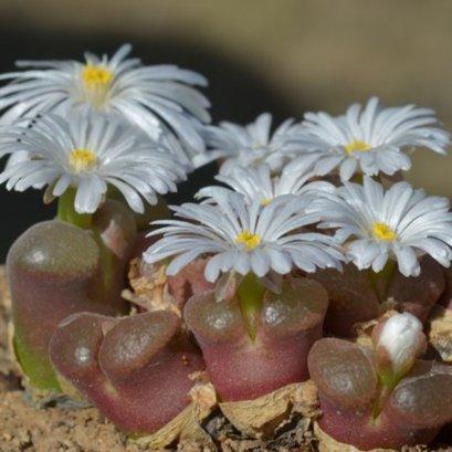 Conophytum friedrichiae