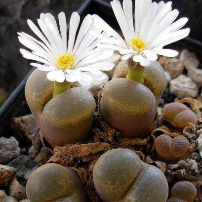 Conophytum triebneri