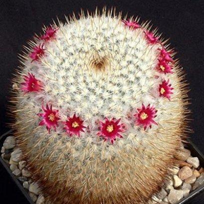 Mammillaria fuauxiana