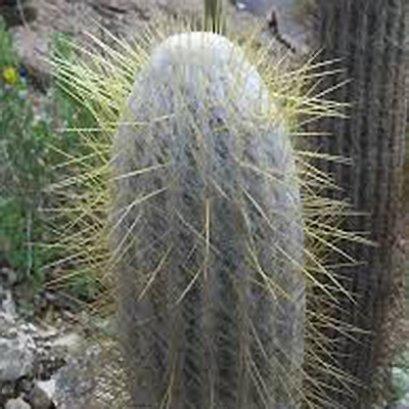 Espostoa cantaensis