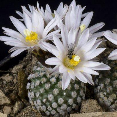 Pelecyphora (Turbinicarpus) valdeziana (Saltillo) v. albiflora