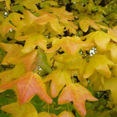 Acer monspessulanum (เมเปิ้ลเหลือง)