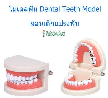 โมเดลฟัน Dental Teeth Model