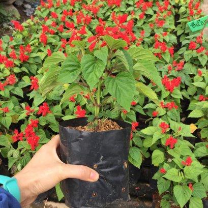 ต้นซันเวียแดงพร้อมปลูกลงดิน