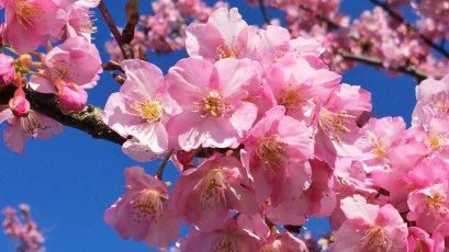 (ซากุระ) ทัวร์เอเชีย ญี่ปุ่น โตเกียว ฟูจิสกี ซากุระเมืองมัตซึดะ 5 วัน 3 คืน การบินไทย (TG)