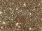 Disco Glitter : CHAMPAGNE 5g