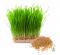 Wheatgrass ต้นข้าวสาลี