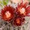 Glandulicactus uncinatus