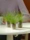 หญ้าประดับ ไอโซเลปิส ลีฟ ไวเออร์  100 เมล็ด