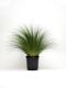 หญ้าประดับ สติป้า  โพนี่เทลส์ 100 เมล็ด