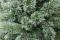Cashmere Tree
